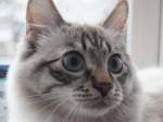 Сибирский (невский маскарадный) кот