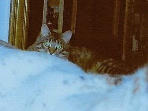 Сибирский кот Тихон