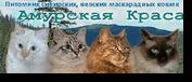 Амурская Краса. Питомник Сибирских кошек традиционных и колор-пойнтовых окрасов. Дальневосточная линия.