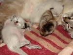 Сибирские котята окраса сил-пойнт