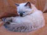 Сибирский колор-пойнтовый котенок