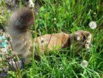 Сибирская кошка, окрас черный тигровый черепаховый